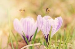 Foto suave de la flor del azafrán Imagen de archivo