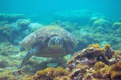Foto subacquea del fronte della tartaruga verde Primo piano della tartaruga di mare Animale oceanico in natura selvaggia Attività immagine stock libera da diritti