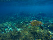 Foto subacquea del primo piano della tartaruga di mare verde Immagine Stock