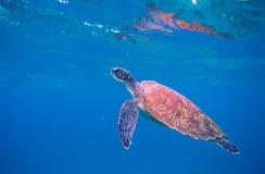 Foto subacquea del respiro della tartaruga verde Primo piano della tartaruga di mare Animale oceanico in natura selvaggia Attivit fotografie stock