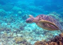 Foto subacquea del ritratto della tartaruga verde Primo piano della tartaruga di mare Animale oceanico in natura selvaggia Attivi fotografia stock