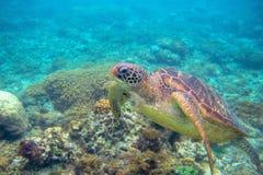 Foto subacquea della tartaruga di mare verde Primo piano della tartaruga di mare Animale oceanico in natura selvaggia Attività di immagini stock libere da diritti