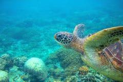 Foto subacquea della testa della tartaruga verde Primo piano della tartaruga di mare Animale oceanico in natura selvaggia Attivit immagini stock