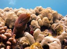 Foto subacquea di Moray Eel macchiato fotografia stock