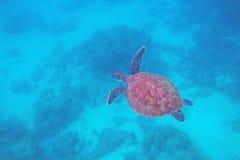 Foto subacquea di punto di vista superiore della tartaruga verde Primo piano della tartaruga di mare Animale oceanico in natura s fotografia stock