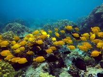 Foto subacquea di una scuola del Surgeonfish giallo fotografia stock libera da diritti