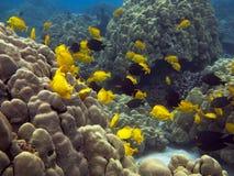 Foto subacquea di una scuola del Surgeonfish giallo immagine stock