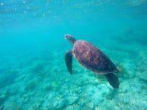 Foto subacuática de la tortuga de mar verde para la plantilla de la bandera Imagen de archivo libre de regalías