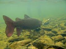 Foto subaquática da pesca da truta Foto de Stock Royalty Free