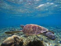 Foto subaquática da tartaruga bonita Tartaruga de verde azeitona no litoral tropical Fotografia de Stock Royalty Free