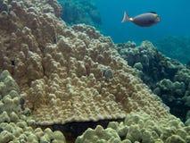 Foto subaquática de peixes do cirurgião Fotografia de Stock Royalty Free