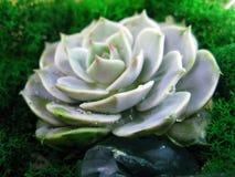 Foto succulente di macro della pianta del muschio rosa della pietra del fiore del cactus di echeveria Fotografie Stock