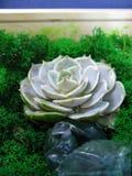 Foto succulente di macro della pianta del muschio rosa della pietra del fiore del cactus di echeveria Immagine Stock
