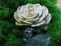 Foto succulente di macro della pianta del muschio rosa della pietra del fiore del cactus di echeveria Fotografia Stock