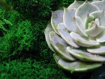 Foto succulente di macro della pianta del muschio rosa della pietra del fiore del cactus di echeveria Immagini Stock