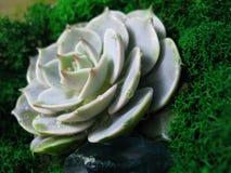 Foto succulente di macro della pianta del muschio rosa della pietra del fiore del cactus di echeveria Immagine Stock Libera da Diritti