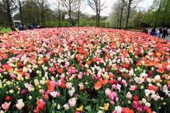 Foto superior do tiro da tulipa colorida numerosa fotos de stock royalty free