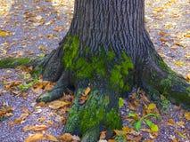 Foto surpreendente de uma árvore coberta com o musgo Fotografia de Stock