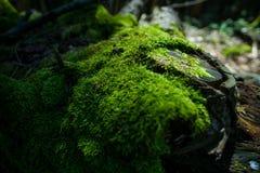 Foto tagliente del primo piano di di legno coperto di muschio Il bei muschio e lichene hanno coperto il legno Il fondo verde inte fotografia stock