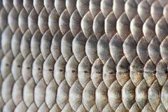 Foto texturizada piel del modelo de las escalas de pescados Carassius macro de la carpa de Crucian de la visión escamoso con la l Foto de archivo libre de regalías