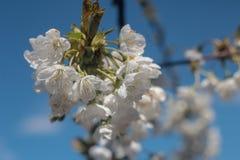 Foto van bloeiende kersenboom royalty-vrije stock foto's