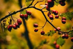 Foto van de herfstbessen op boom royalty-vrije stock foto's
