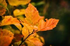 Foto van de herfstbladeren op een boom De gouden Herfst Heldere rode, gele, oranje achtergrond stock foto's
