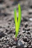 Foto van de jonge groene spruit Royalty-vrije Stock Fotografie