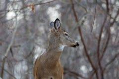 Foto van de mooie herten die zijn hoofd omslaan Royalty-vrije Stock Fotografie