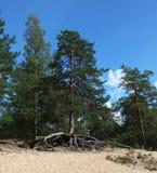 Foto van de pijnboomboom met grote blootgestelde wortels die op de bovenkant van een zandduin groeien, op de achtergrond van blau Stock Foto's