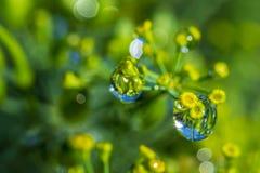 Foto van de resterende regendruppels op Dillegewas stock foto