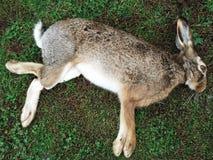 Foto van dood konijn stock foto's