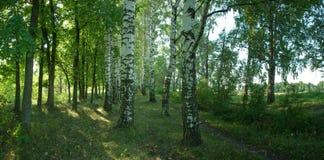 Foto van een birchwood royalty-vrije stock afbeelding