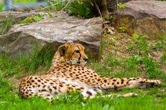 Foto van een mannelijke jaguar (onca Panthera) stock afbeelding