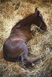 Foto van een pasgeboren volbloed- veulen in pen bij landelijk dierlijk landbouwbedrijf royalty-vrije stock afbeeldingen
