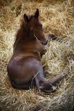 Foto van een pasgeboren volbloed- veulen in pen bij landelijk dierlijk landbouwbedrijf stock fotografie