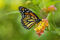 Foto van een Vlinder van de Monarch Stock Foto's