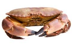 Foto van eetbare krabben Stock Afbeeldingen