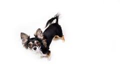 Foto van emotionele stuk speelgoed terriërhond die omhoog op witte achtergrond kijken Royalty-vrije Stock Foto's
