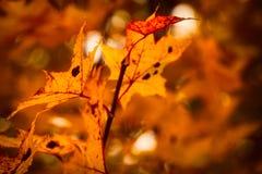 Foto van esdoornbladeren op een boom De gouden Herfst Heldere rode, gele, oranje achtergrond royalty-vrije stock foto