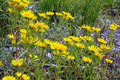 Foto van geel bloemenclose-up Stock Foto