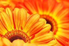 Foto van gele en oranje gerberas, macrofotografie en bloemenachtergrond Royalty-vrije Stock Afbeeldingen