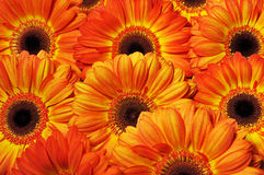 Foto van gele en oranje gerberas, macrofotografie en bloemenachtergrond Stock Afbeelding