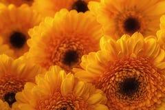 Foto van gele gerberas, macrofotografie en bloemenachtergrond Geel madeliefje Stock Afbeeldingen