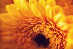 Foto van gele gerberas, macrofotografie en bloemenachtergrond Geel madeliefje Royalty-vrije Stock Foto
