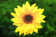 Foto van gele zonnebloem op groen gras royalty-vrije stock foto's