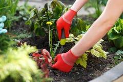 Foto van gloved de holdingsonkruid en hulpmiddel die van de vrouwenhand het verwijderen uit grond stock afbeelding
