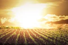 Foto van graangebied bij zonsondergang Royalty-vrije Stock Afbeeldingen