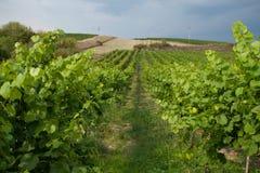 Foto van groene wijngaard Goed voor achtergrond Stock Foto