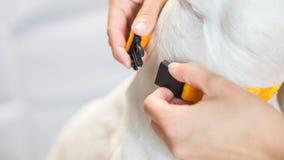 Foto van hand die leiband op de witte hond, met lege spaties zetten royalty-vrije stock foto